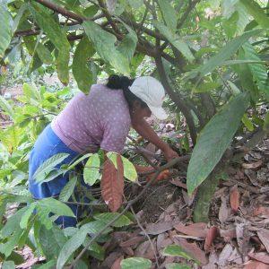 Madre Coraje y el Ayuntamiento de Cádiz ayudan a que 65 familias recuperen su plantación de cacao en Perú