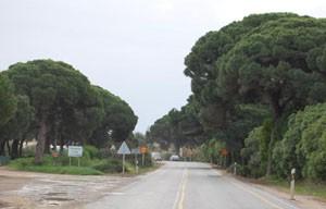 Ecologistas de Chipiona advierten sobre posible tala de pinos   centenarios por obras en carretera de Rota.-