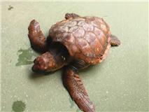 CANS recupera una tortuga boba y un águila calzada