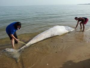 Aparece sin vida en la Playa de Micaela una cría de Rorcual de 4,7 metros de longitud(Chipiona)