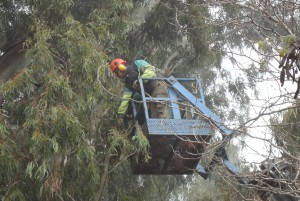 El plan de poda municipal acomete su fase más compleja con los eucaliptos de la Avenida de Jerez