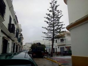 El PP tala la araucaria de la plaza vieja al margen del pueblo. ¿dónde estan ahora los ecologistas?