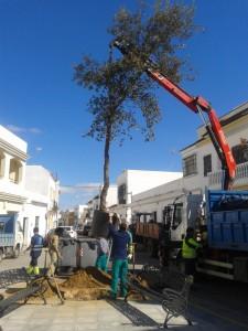 Plantado un alcornoque en el lugar de la araucaria de la Plaza Vieja