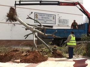 Replantados dos árboles afectados por las obras del nuevo edificio del Polideportivo Chipiona