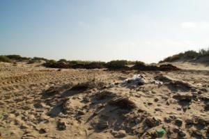 Chipiona utiliza las algas para retener la arena de las dunas de la playa de Las Tres Piedras