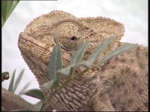 Medio Ambiente recuerda que la captura y posesión del Camaleón Común está prohibida y penada por ley