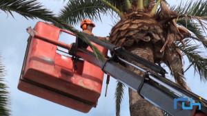 Medio Ambiente realiza trabajos de poda y fumigación contra el picudo rojo en las palmeras de la Plaza Juan Carlos I