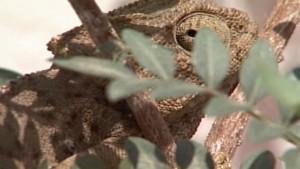 El grupo ecologista Cans inicia una campaña para proteger a los camaleones en su periodo de reproducción