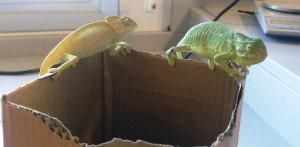 Medio Ambiente informa de la recuperación este verano de 21 ejemplares de camaleón común