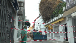 El Ayuntamiento de Chipiona inicia una nueva poda de saneamiento de la buganvilla de Isaac Peral por razones de seguridad.
