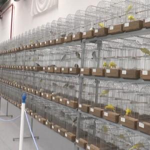 La cuarta edición de la Exposición Ornitológica Ciudad de Chipiona contará este año con casi 1.300 ejemplares