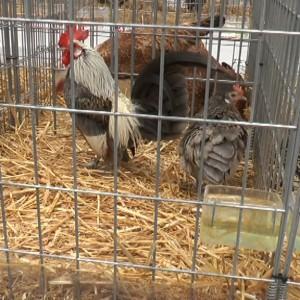 900 ejemplares se muestran hasta el domingo en la segunda Exposición Avícola Costa de la Luz