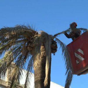 Parques y Jardines llevará a cabo la tala de otras cuatro palmeras de Juan Carlos I afectadas por el picudo rojo