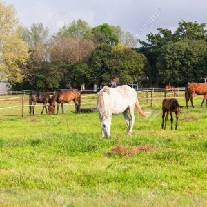 Horses with foals colts in paddock field on stud farm.