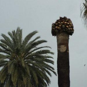En la plaza Juan Carlos I solo quedará una de las diecisiete palmeras  históricas al verse afectada otra por el Escarabajo Picudo Rojo