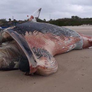El CANS confirma que la ballena aparecida hoy en Chipiona es un rorcual común