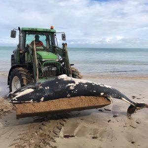 El esqueleto de la ballena retirada esta mañana de la Cruz del Mar podría exponerse en un futuro en el Centro El Camaleón