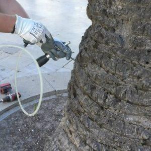 Un novedoso tratamiento de endoterapia para luchar en las palmeras canariensis de Chipiona contra el picudo rojo